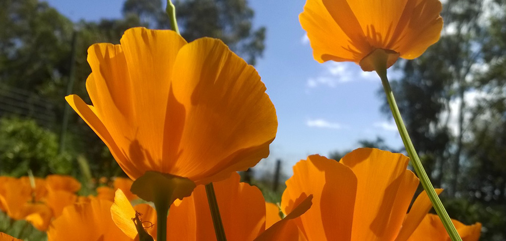 ca-poppies-bugs-eye-view