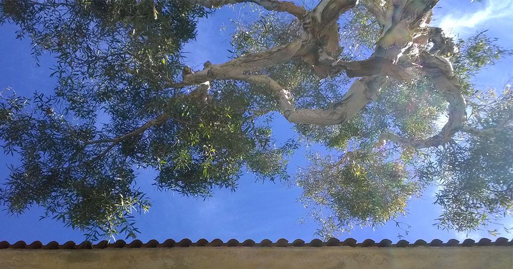 Eucalptus Against the Sky Mission Beach CA
