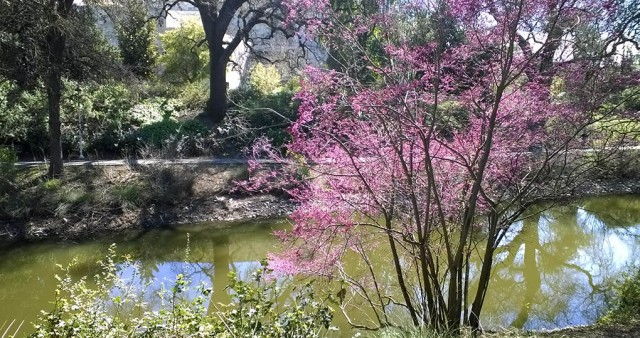 Blooming Redbud in Spring Putah Creek Davis CA